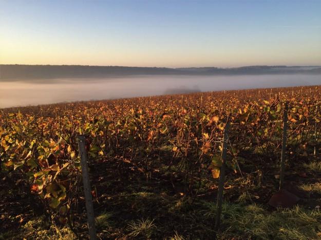 Champion Daniel (low mist over vines)