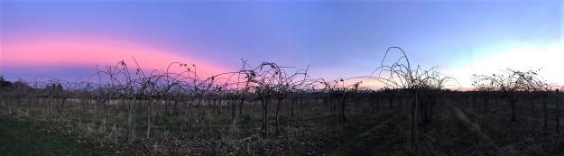 Kiwi Orchard (panorama)